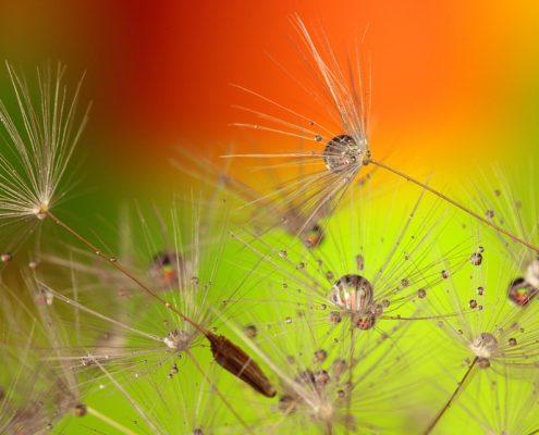 dandelion-319939_960_720